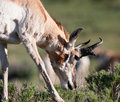 Pronghorn close up of a in yellowstone Royalty Free Stock Photos