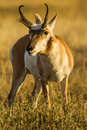 Pronghorn close view of adult male aka antelope standing in prairie grasses Royalty Free Stock Image