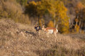 Pronghorn Doe and Fawn Royalty Free Stock Photo