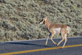 Pronghorn in lamar valley isolated young deer crossing the road yellowstone Stock Photos