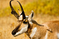 Pronghorn Portrait Stock Image