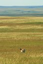 Pronghorn prairie Stock Images