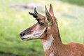 Pronghorn profile are an antelope like mammal found in north america Royalty Free Stock Image