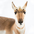 Pronghorn in snow frontal portrait of standing Stock Photography