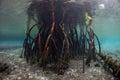 Prop Roots of Raja Ampat Mangrove Tree Royalty Free Stock Photo