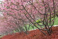 Prosperous cherry beautiful blossoms in spring Royalty Free Stock Photography