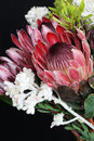 Protea Royalty Free Stock Photography