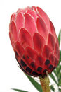 Protea Royalty Free Stock Photo