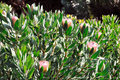 Protea blossoms, Sugarbush - Madeira Stock Images