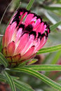 Protea burchellii little ripper australian with striking pink red bracts with black tufs winter flowering great cut flower Stock Images