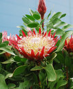 Protea cynaroides flower also known as king giant king sugar bush and honeypot it has the largest flowerhead in the genus Royalty Free Stock Image