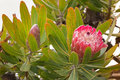Protea flower head in red pink bract with white hairy feathery f Royalty Free Stock Photo