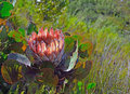 Protea a flower on a mountain in south africa Royalty Free Stock Images