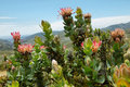 Protea king flower cynaroides in south africa Royalty Free Stock Photos
