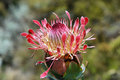 Protea king flower cynaroides in south africa Stock Photography
