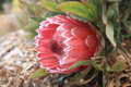 Protea sugarbush flowering in the garden beautiful proteas are also known as and featherbush they are strong and hardy plants with Royalty Free Stock Photography
