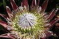 Proteas Flower