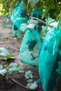 Protected ripe grapes with fine mesh bags hanging on branches Royalty Free Stock Photo