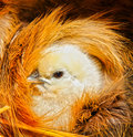 Protection by mother natural as cute baby chick nestles under mothers wing feathers Stock Photos
