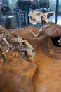 Protoceratops in American Museum of Natural History Royalty Free Stock Photo