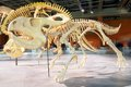 Protoceratops fossil skeleton of the Stock Photos