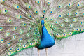Proud as a peacock Royalty Free Stock Photo