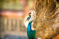 Proud beautiful peacock bird wonderful feather Stock Images