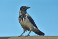 Proud bird bypasses the possession hooded crow Royalty Free Stock Photo