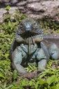 Proud Blue Iguana Royalty Free Stock Photo
