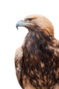 Proud Caucasian eagle Stock Image