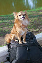 Proud chihuahua guarding backpack with camera Stock Photos