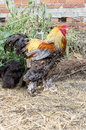 Proud cock colorful in the barnyard Stock Photography
