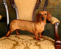 Proud Dachshund Royalty Free Stock Photo