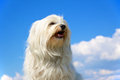 Proud dog bred havanese sits proudly in front of a blue sky with a few clouds in the background Stock Photos