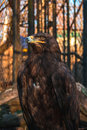 A proud eagle behind bars Royalty Free Stock Photo