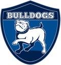 Proud English bulldog marching Stock Photo