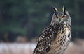 Proud eurasian eagle owl a bubo bubo sitting a perch with snow falling in the background Royalty Free Stock Image