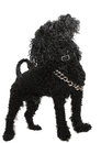 Proud full body black poodle dog Stock Photos