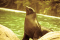 Proud fur seal near the pool at the zoo Royalty Free Stock Photo