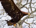 A proud golden eagle flying Royalty Free Stock Photo