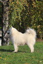 Proud and gorgeous samoyed standing beautiful dog in the park Stock Photo