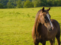 Proud Horse in Beautiful Green Field in Summer Royalty Free Stock Images