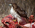 Proud Juvenile Hawk Royalty Free Stock Photo