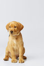 Proud labrador puppy photographed on a light neutral grey backdrop in the studio dog is sitting up straight and looking off to the Royalty Free Stock Photos