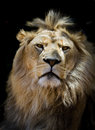 Proud lion male in taronga zoo australia Royalty Free Stock Photography
