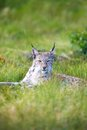 Proud lynx in the grass eurasian rests green Stock Photo