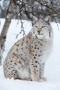 Proud lynx sitting under a tree european sittings in the snow cold winter february norway Stock Images
