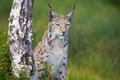 Proud lynx standing by a tree eurasian in the green grass Stock Photo