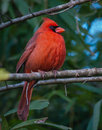 Proud male northern cardinal presented himself my backyard Stock Photography