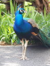 Proud peacock bird male tail Royalty Free Stock Photo